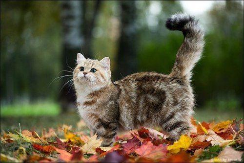 Caturday British Shorthair Cats Munchkin Cat Cats