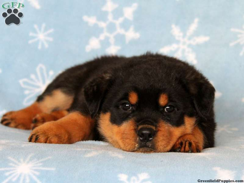 Judge Rottweiler Puppy For Sale In Ronks Pa Puppies