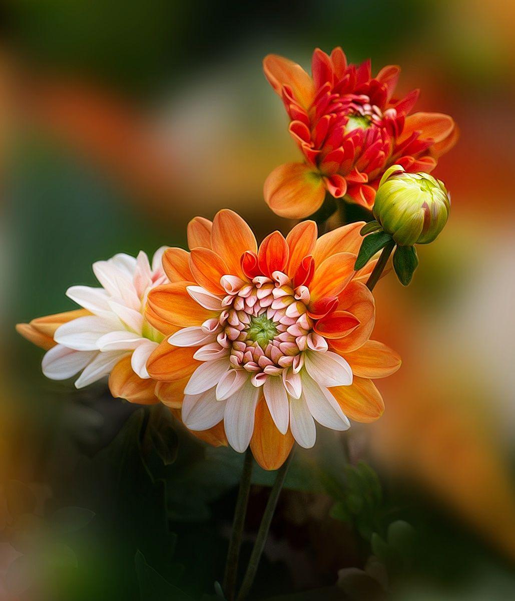 Dahlia Good Morning Flowers Morning Flowers Good Morning Rose Images