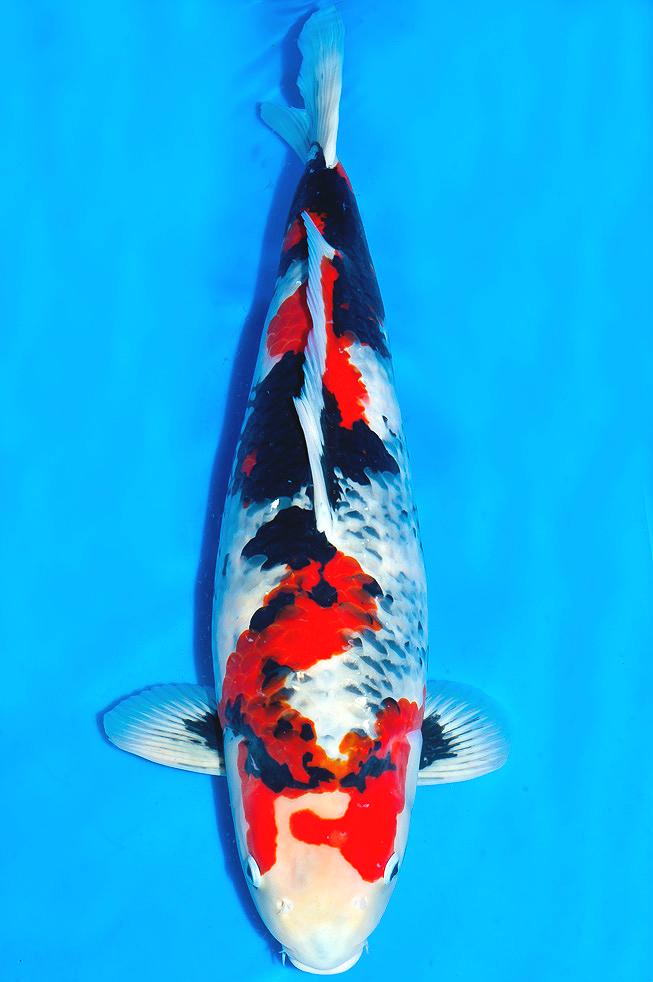 Showa Sanshoku Koi Fish Japanese Koi Koi Carp
