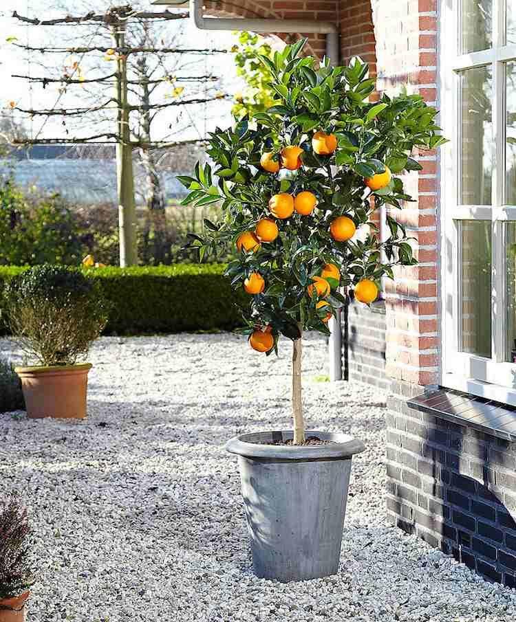 Top 10 Des Arbres En Pots A Cultiver Sans Difficulte Et Moderation Arbres En Pots Arbuste En Pot Et Jardin En Hauteur
