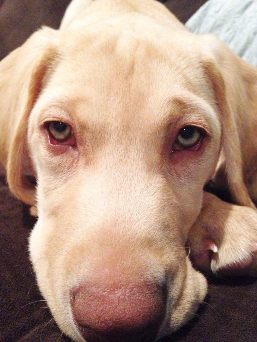 Our Green Eyes Dudley Labrador Retriever Dudley Labrador