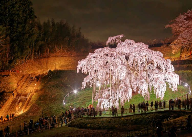Celebrated For Centuries The 5 Great Japanese Sakura Trees Live Japan Travel Guide Sakura Tree Japan Japanese Sakura