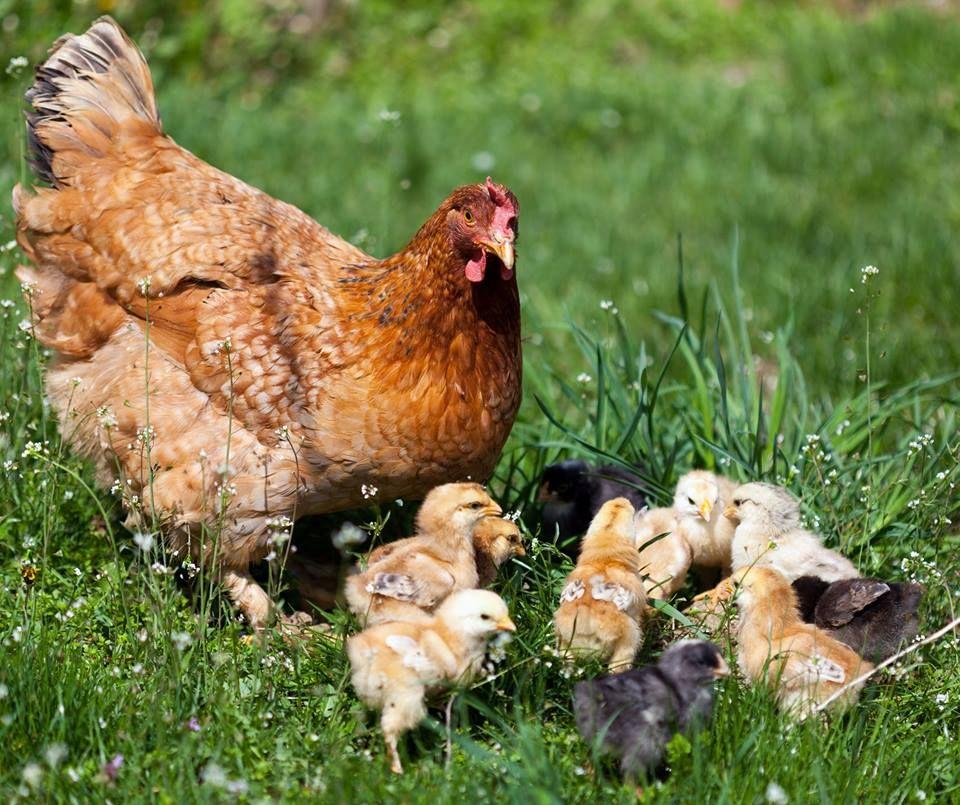 Duck Breeds For Backyard Flocks: Duck Breeds, Baby Chickens, Chicken