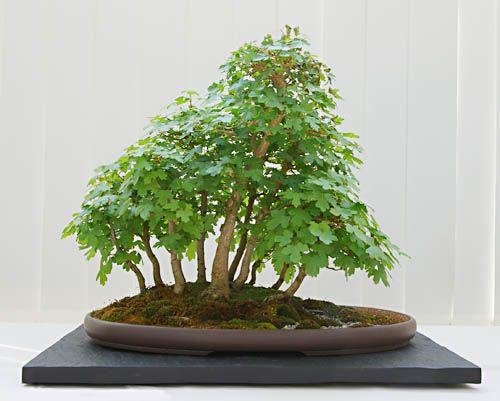 Maple Acer Campestre Bonsai In Forest Form Yose Ue Baumschule