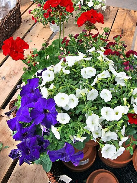 Life, Liberty and the Pursuit of the Patriotic Garden | Petunias