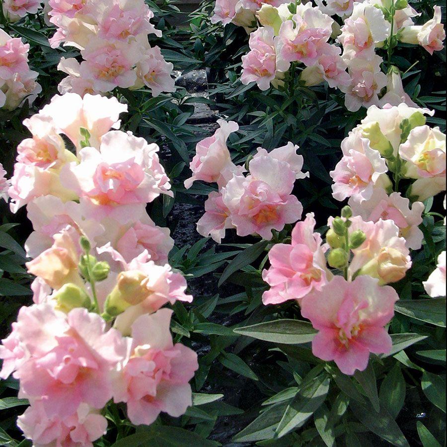Snapdragon 'Twinny Apple Blossom'. Antirrhinum majus. 10