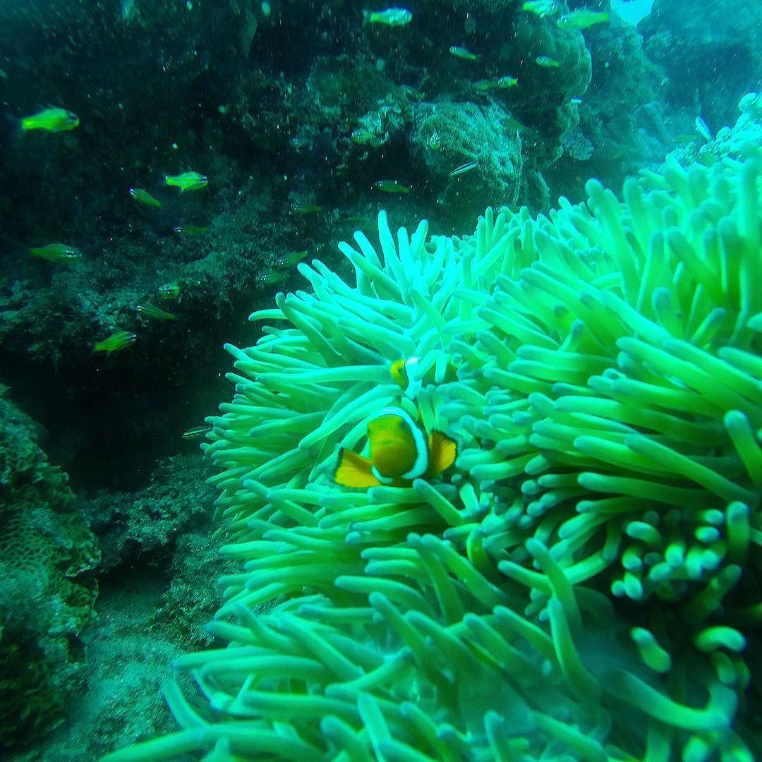 Fik da også lige mødt Nemo ved revet  #psherman42wallabywaysydney #nemo #clownfish #scuba #fishies #discoverqueensland #globetrotter #travel #travelpics #neverstopexploring #adventure #australia #greatbarrierreef #staycurious #inspiration #prodivecairns #fisharefriendsnotfood #gopro by madsstecher http://ift.tt/1UokkV2