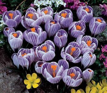 Pickwick Striped Crocuses For Garden Crocus Flower Bulb Flowers Wholesale Plants
