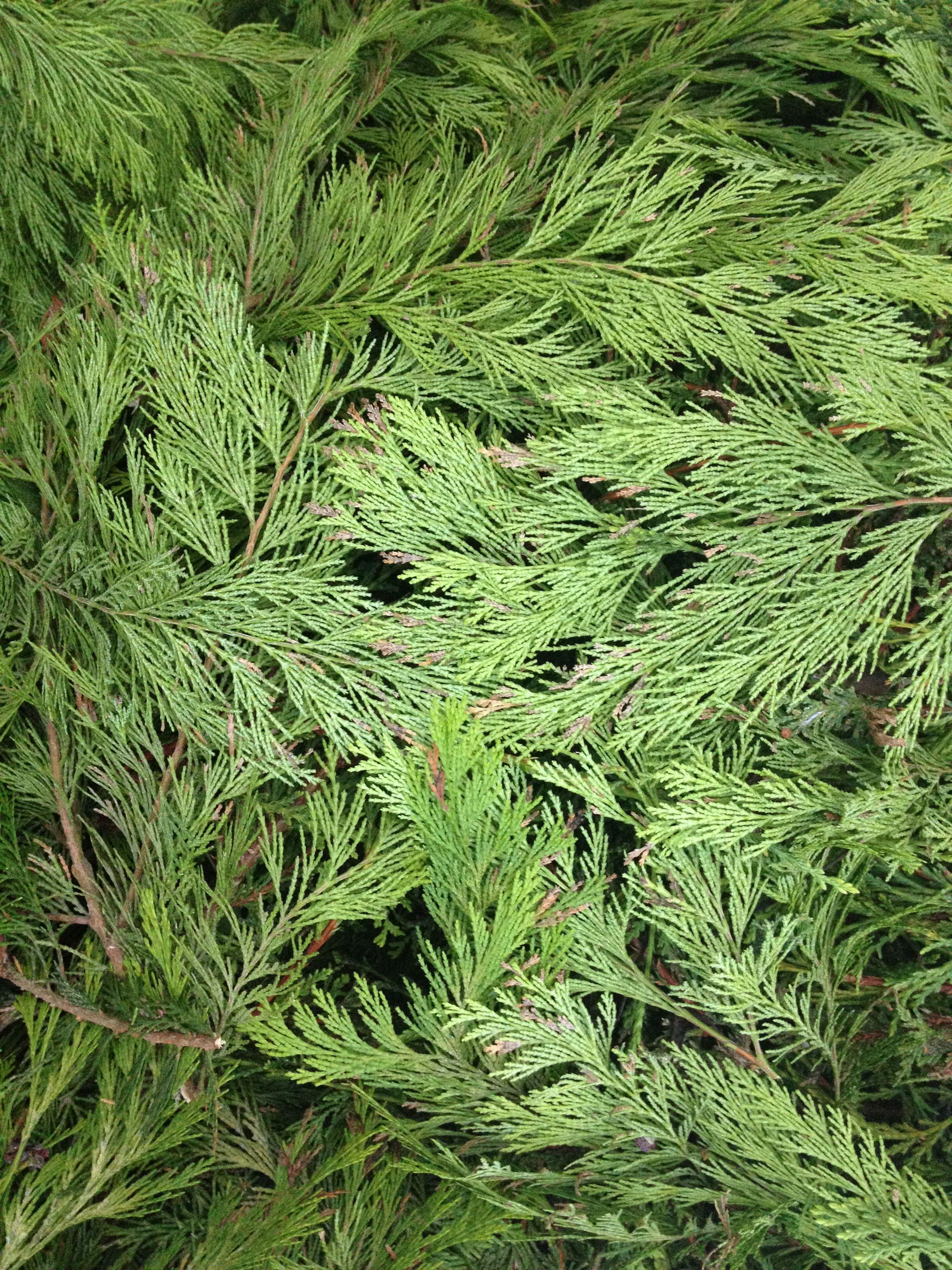 Fresh cut conifer green. Burbage.