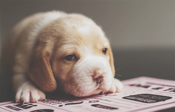 Newborn Beagle Puppies Beagle Puppy Puppies I Love Dogs