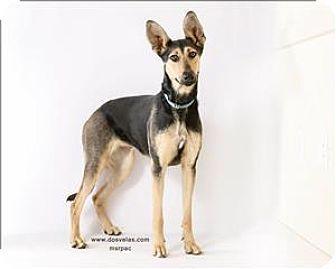 Pharaoh Hound/German Shepherd Dog Mix Dog for adoption in ...