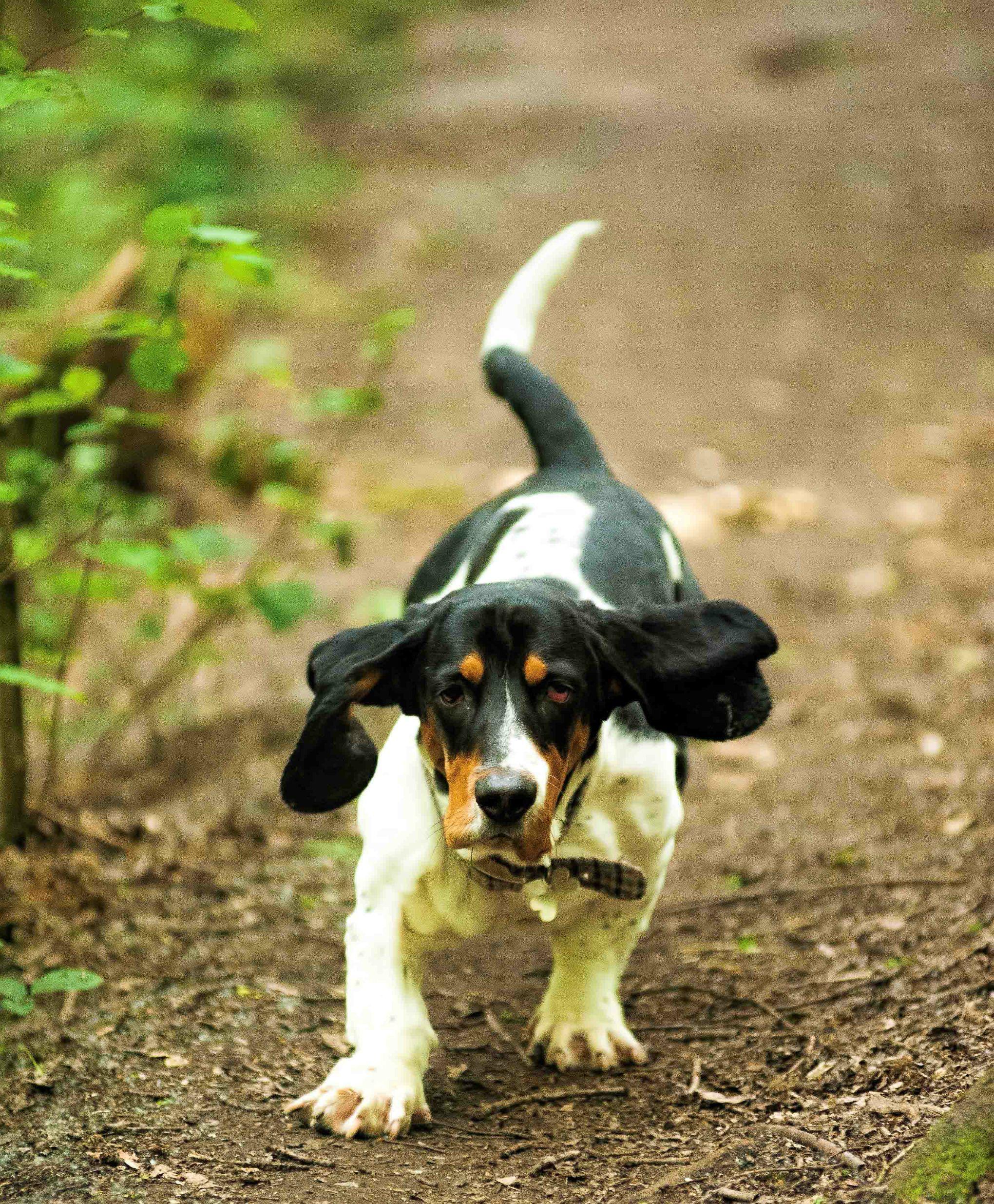 Luxe Dessin à Imprimer Chien Beagle