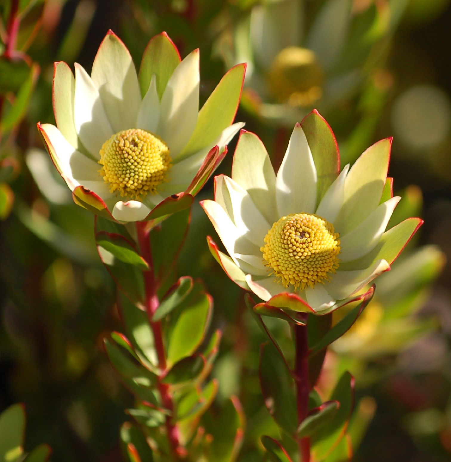 Gold Cup Flower photos, Australian flowers, Beautiful
