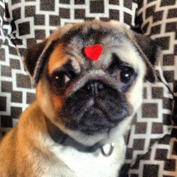 Happy Valentine S Day Xoxo Oswin And Ruthie Pug Love Pugs Pug Lover