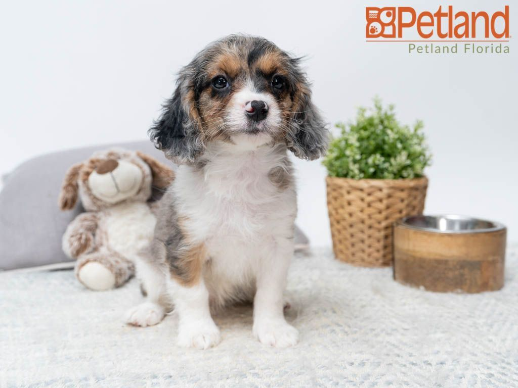 Puppies For Sale Puppy friends, Cavapoo puppies, Cavapoo