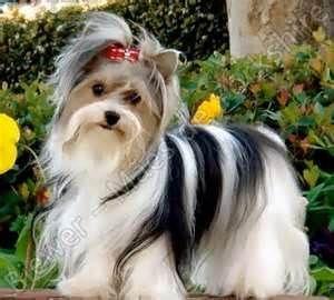 Briewer Yorkshire Terrier Biewer Yorkie Yorkshire Terrier Dog
