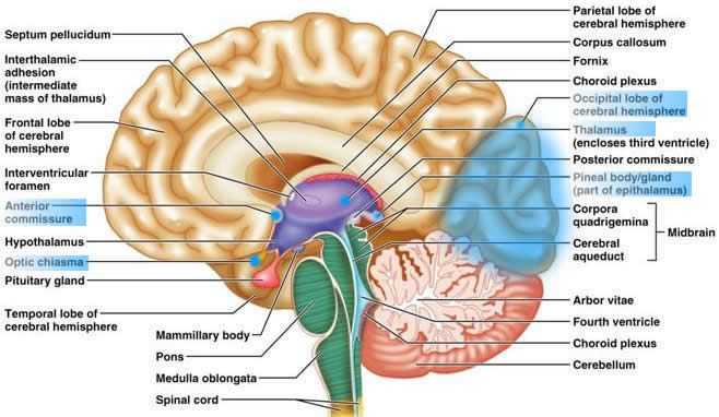 Mammillary Body Gallery Brain Diagram Brain Anatomy Human Brain Anatomy From wikimedia commons, the free media repository. brain anatomy human brain anatomy