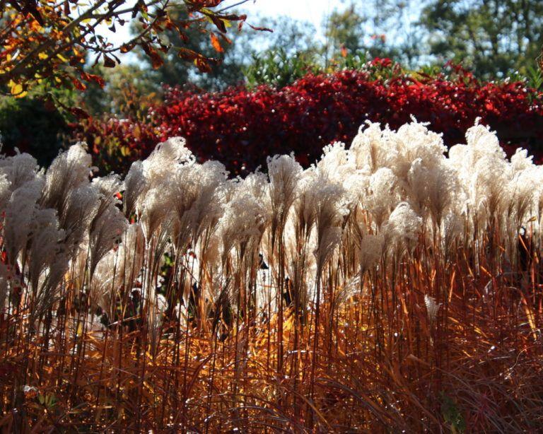 Sichtschutz pflanzen mit Stauden und Gräsern Sichtschutz