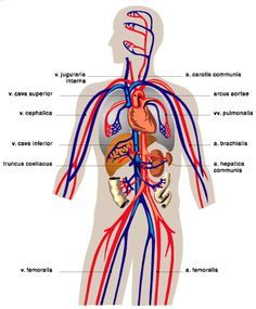 Ou human circulatory system diagram online schematic diagram image result for components of blood plasma moha pinterest rh pinterest co uk human circulatory system diagram pdf human circulatory system diagram labeled ccuart