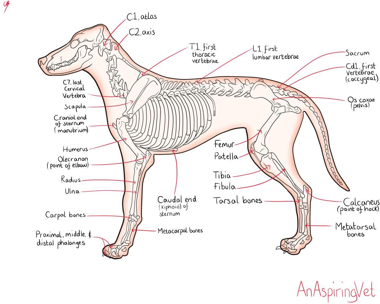 """anaspiringvet: """"I drew a picture of canine anatomy for you guys ..."""