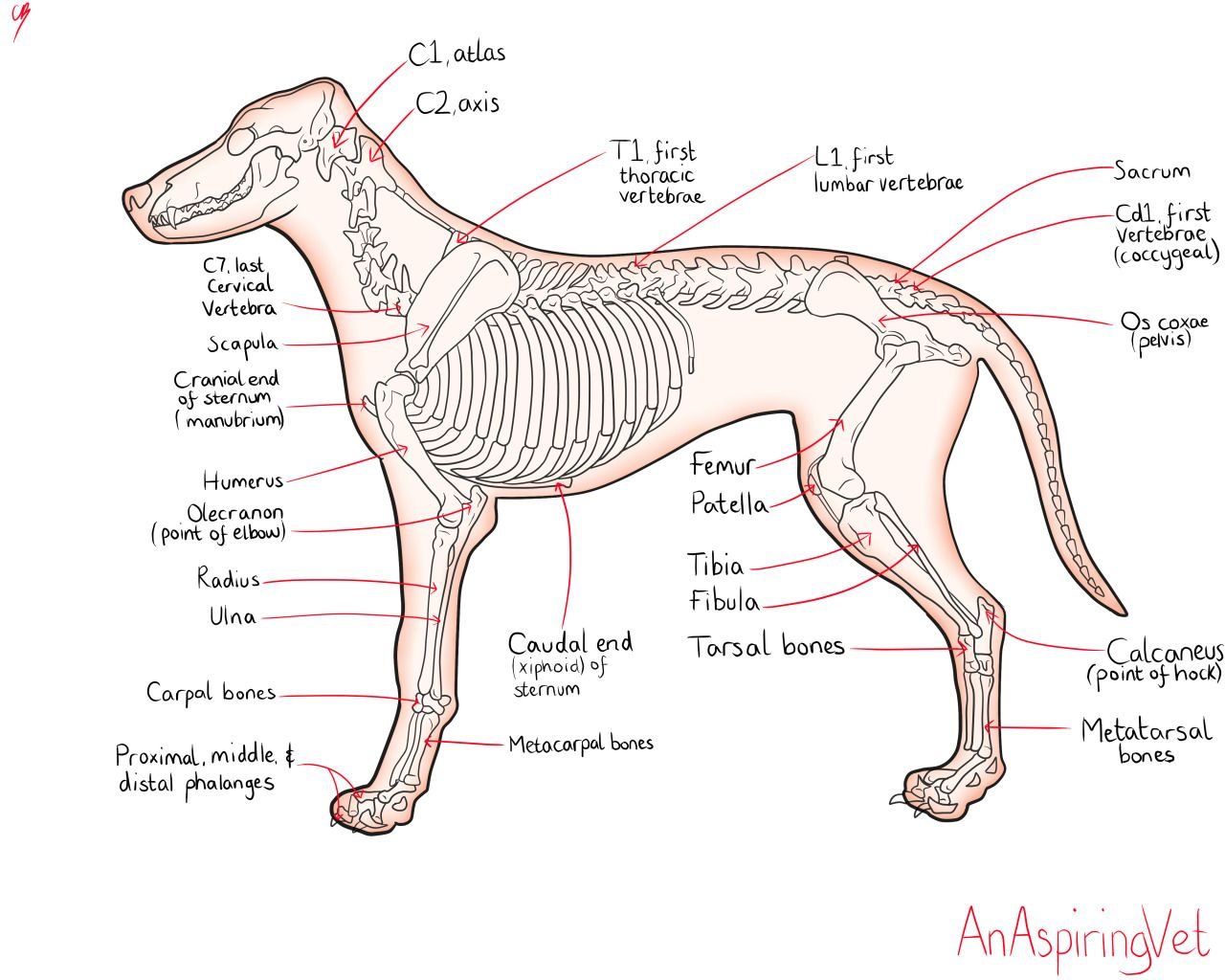 teachers manual canine anatomy atlas