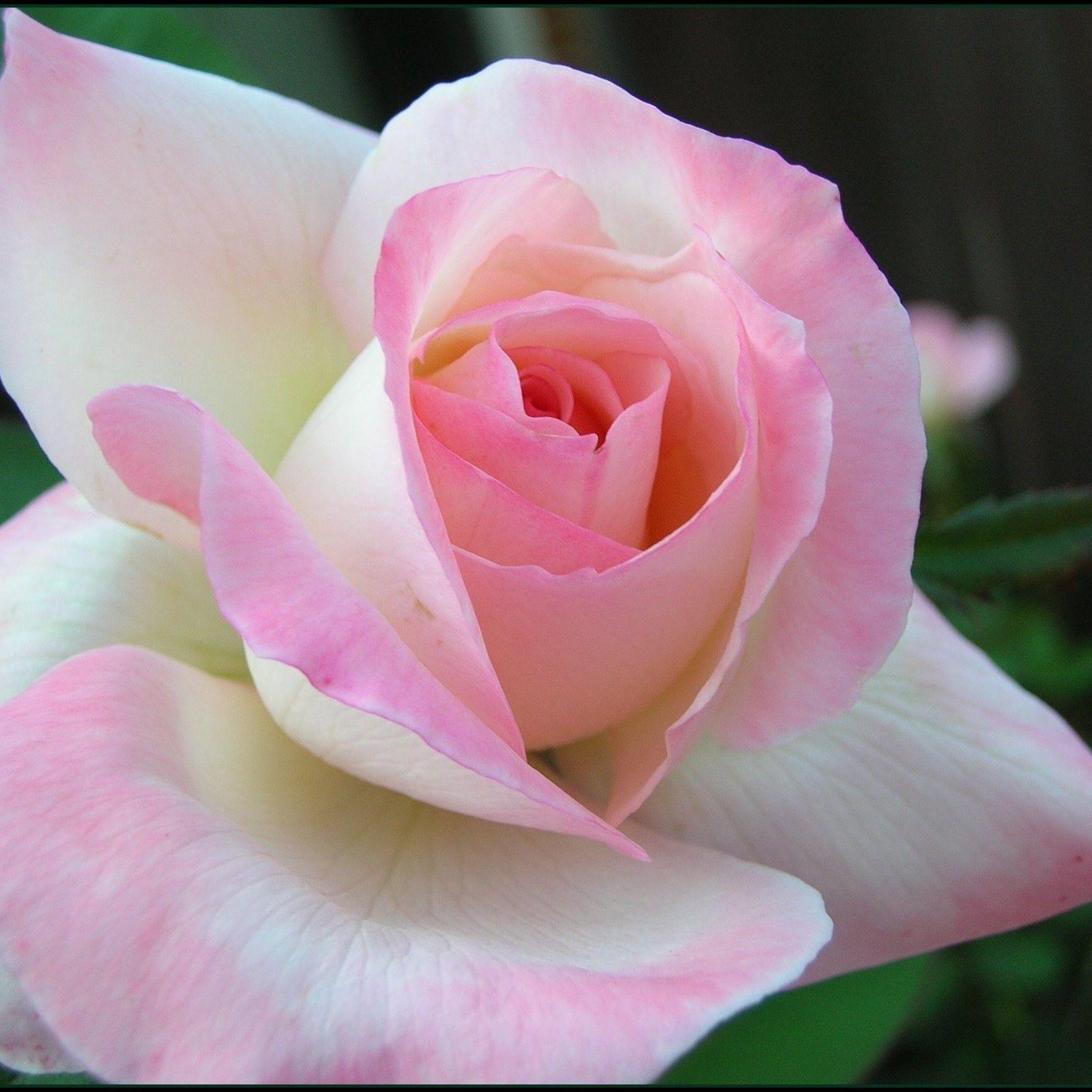 самые красивые розы мира фото розовые поздравления