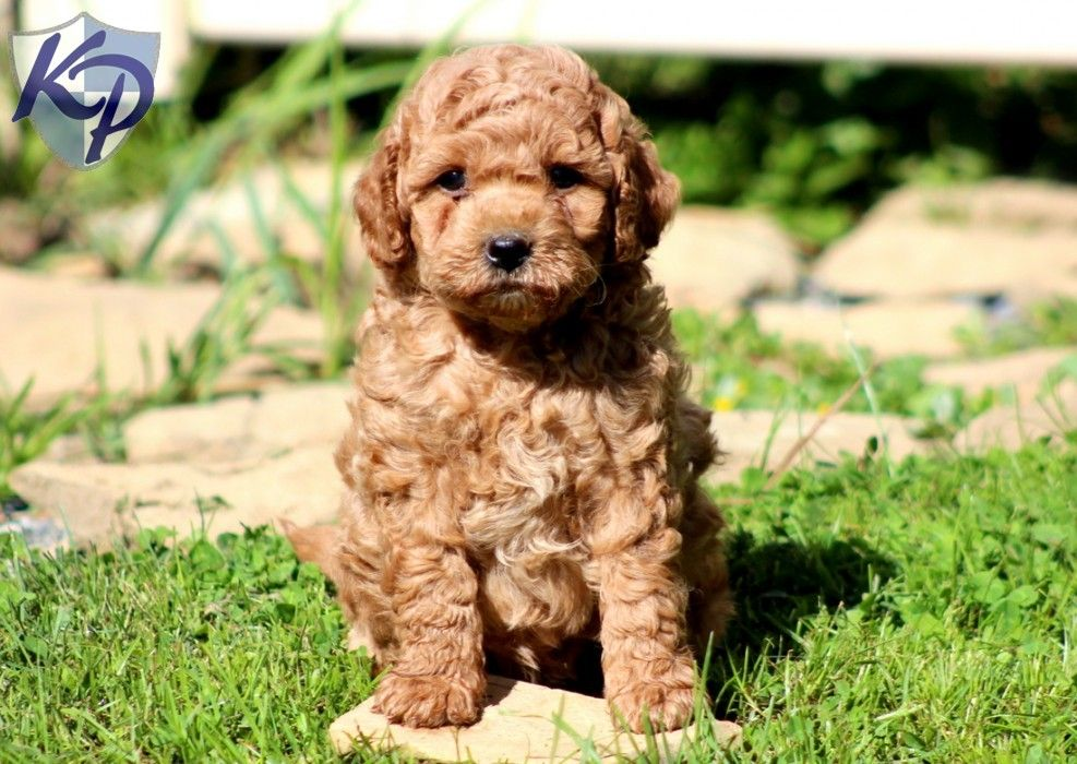 Charger Miniature Labradoodle Puppy minilabradoodle