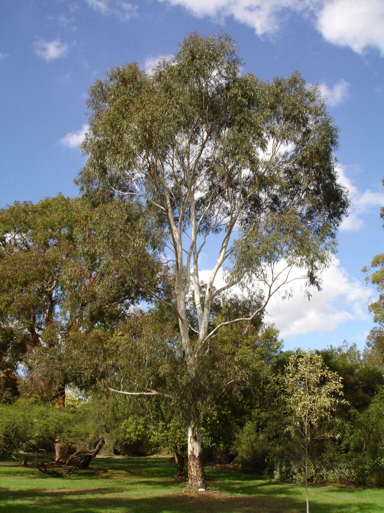 Eucalyptus scoparia | Trees | Pinterest | Plants and Gardens