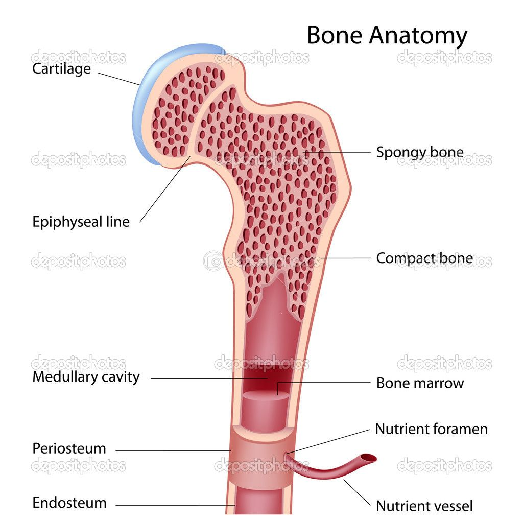 For my lesson on long bone structures | Medical stuff | Pinterest