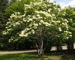 U0027Ivory Silku0027 Tree Lilac Height 20 25u0027 Spread ...