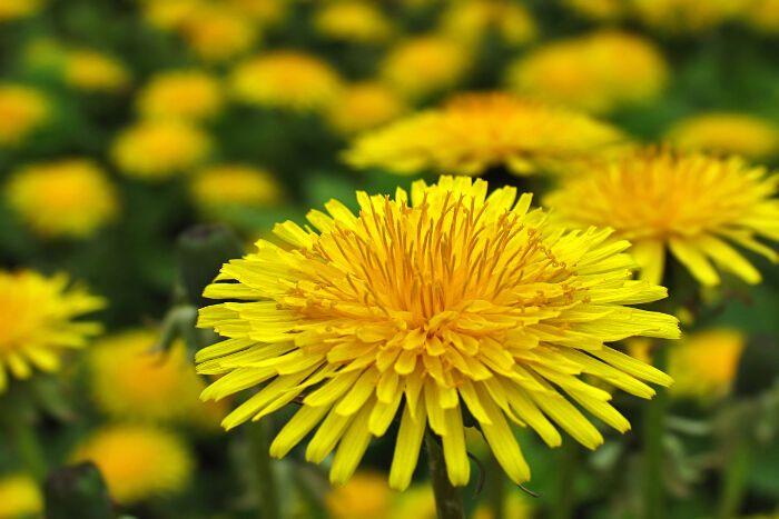 Dandelions Flower Google Search Dandelion Flower Dandelion Flower Meanings