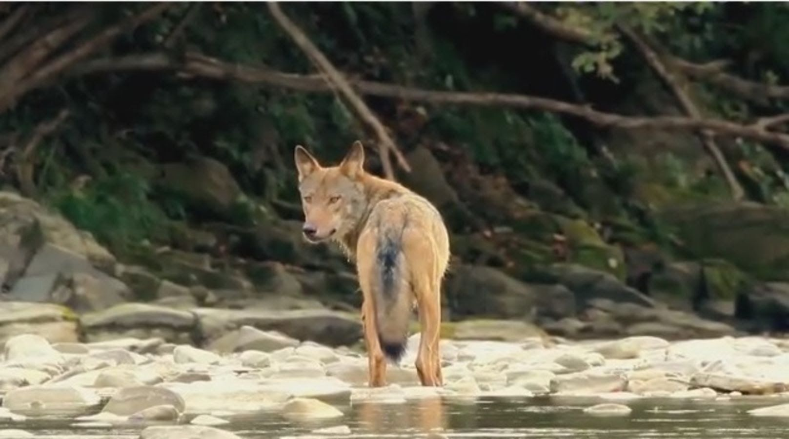 The Life Of The Wild Wolf Documentaries National