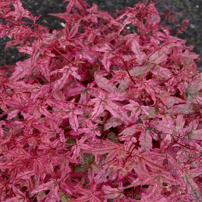 Acer palmatum beni maiko 1 arbre achetez en ligne sur internet commander vite acer palmatum - Arbre a feuille rouge persistant ...