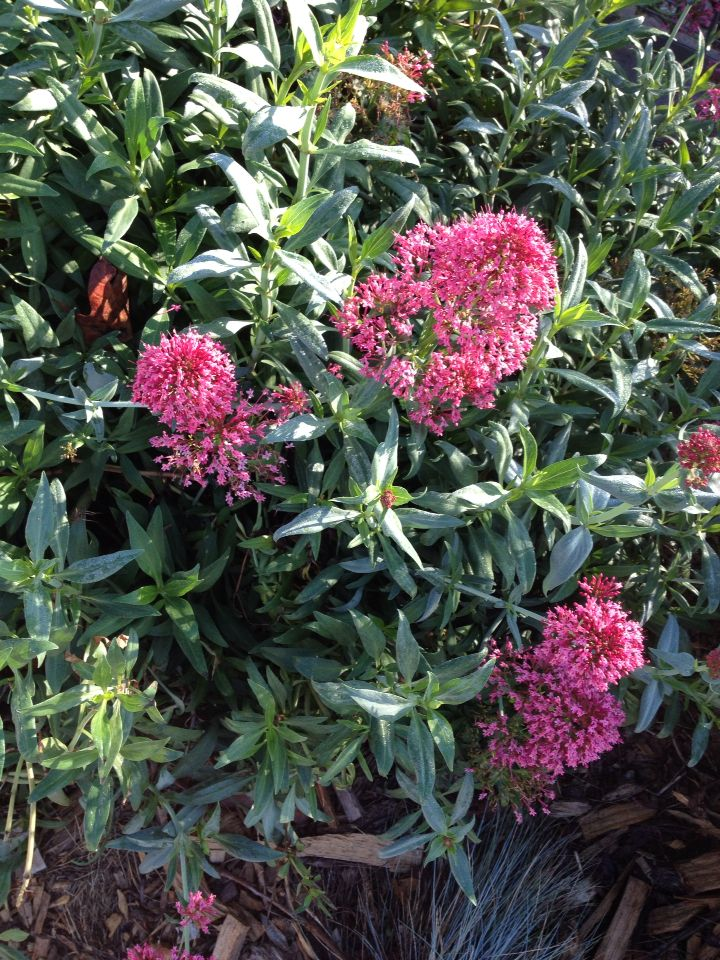 Punk Flowering Plant For Drout Resistant Flowering