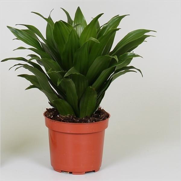 Las mejores ofertas en plantas ornamentales venta online for 4 plantas ornamentales