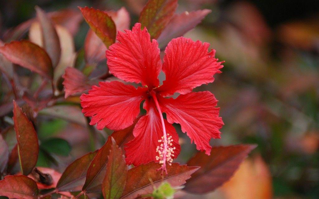 Hd Wallpapers 1080p Hibiscus Flower Hibiscus Hibiscus Flowers Flowers