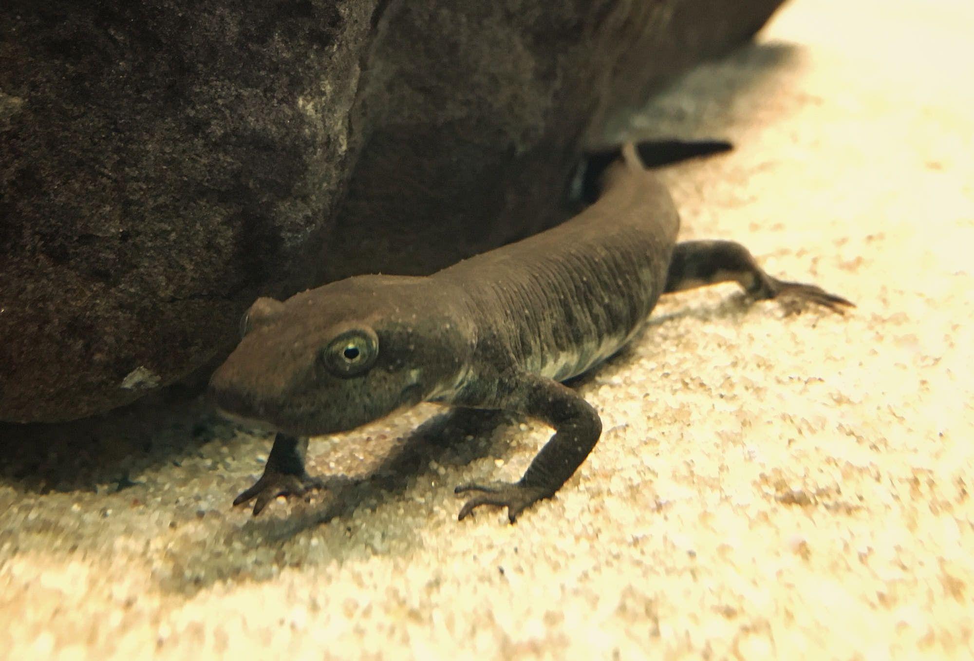 Sardinian Brook Salamander Euproctus Platycephalus Salamander