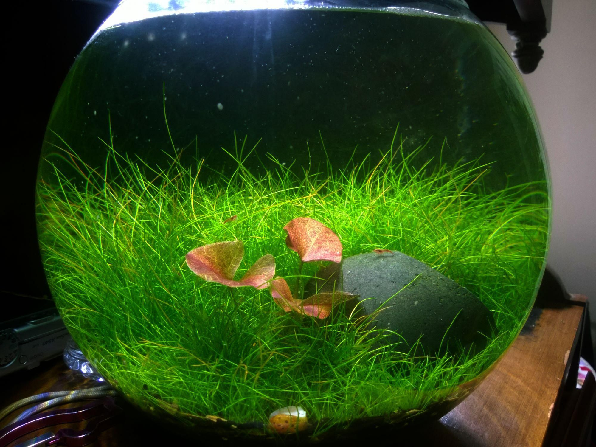 Freshwater fish bowl - Originally Posted By Nolan View Post Well I Think The Training Has Been A Success This Lotus Has Been In The Bowl For Now And Seems To Be