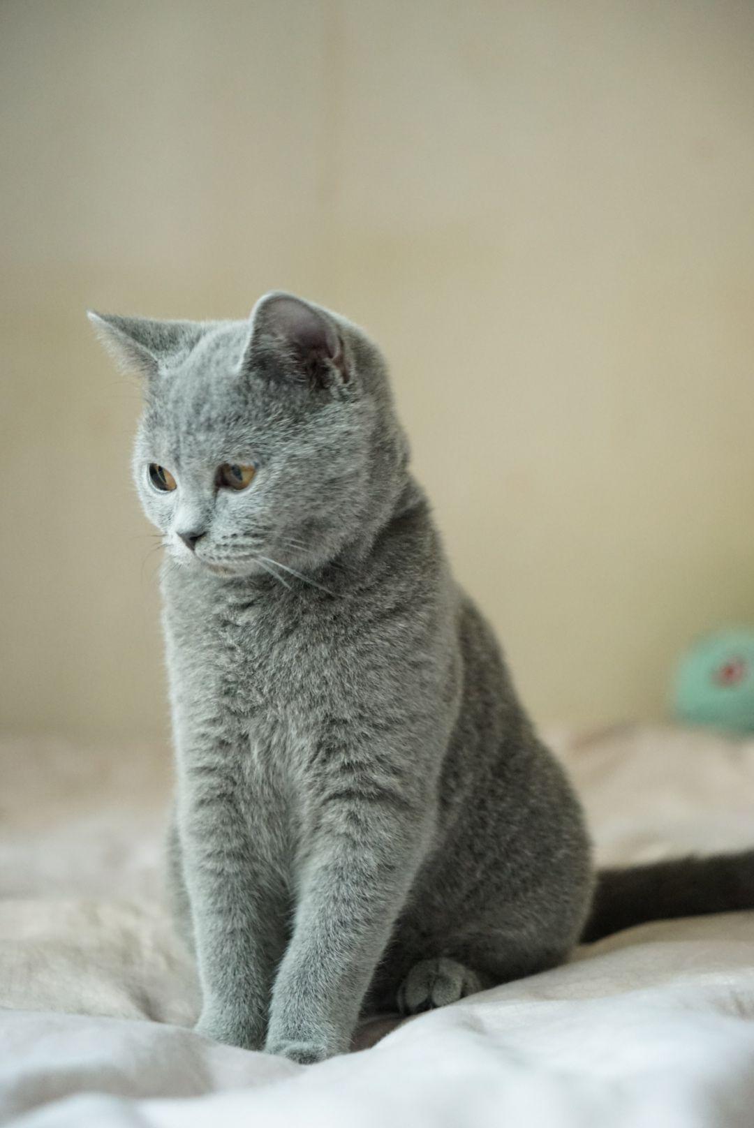 Lovely British Shorthair British Shorthair Cats British Shorthair British Shorthair Kittens