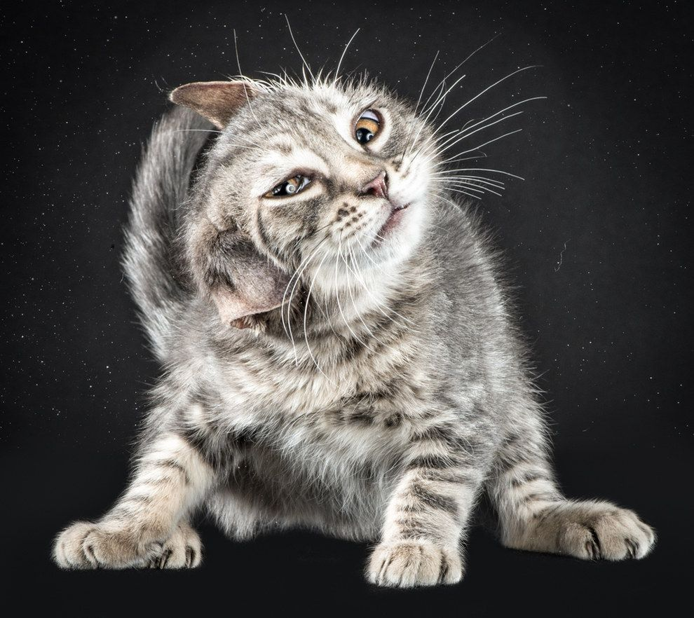 Portraits Of Cats Shaking Themselves Clean Is All You Need