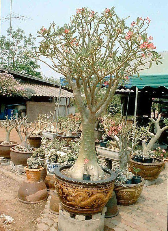 Plante Rosa do Deserto Loja Virtual Oficial do Blog (71) 4103-4418 - Sementes, Mudas, Adubos, fertilizantes e acessórios - Rosa do Deserto - Loja Oficial do Blog: PLANTE ROSA DO DESERTO, Mudas, sementes de rosa do deserto, fertilizantes, e ferramentas