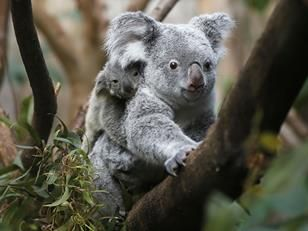 Koalas Are Being Endangered By Chlamydia Epidemic Really Someone  Koalas Are Being Endangered By Chlamydia Epidemic Really Someone Was That  Hard Up For The Importance Of Learning English Essay also Environmental Science Essay  Writing Essay Papers