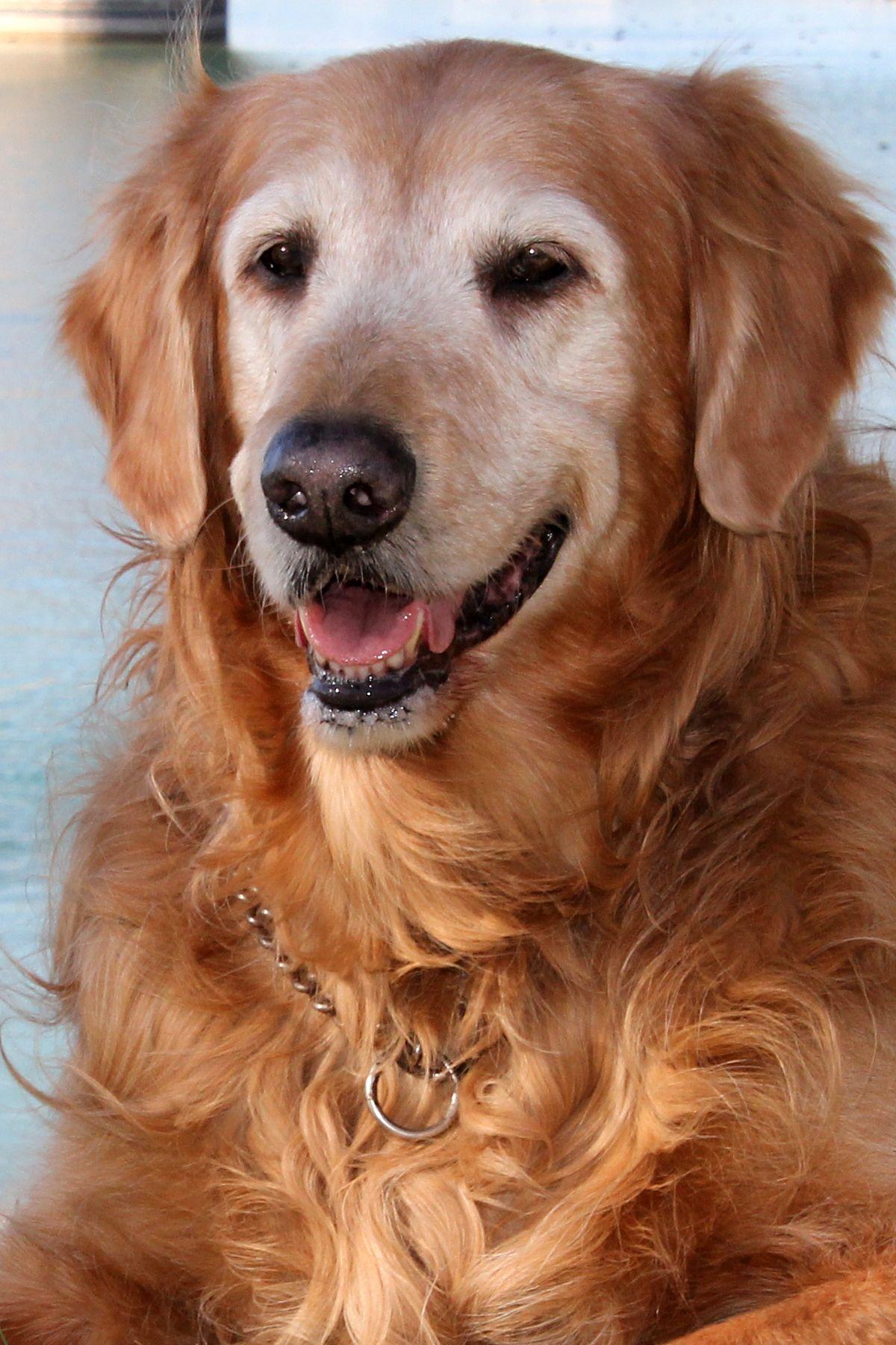 Golden Retriever Dog For Adoption In Glendale Az Adn 744266 On