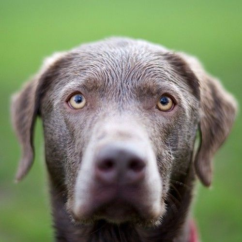 Lily, Silver Lab, Sellwood Riverfront Park, Portland, OR