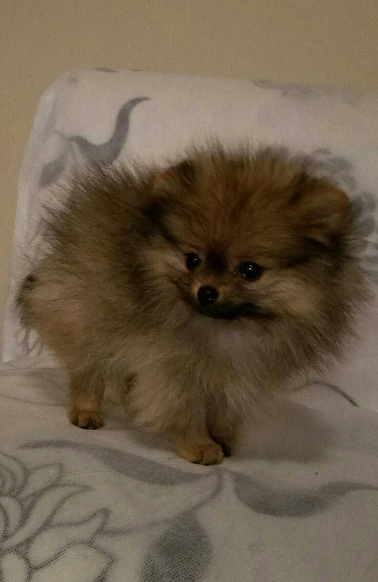 My Pom Puppy Named Fox Is It A Puppy Or A Fox Cute Animals Baby Puppies Cute Dogs