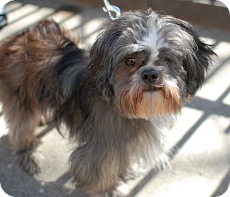 New York Ny Shih Tzu Mix Meet Herman A Dog For Adoption Shih
