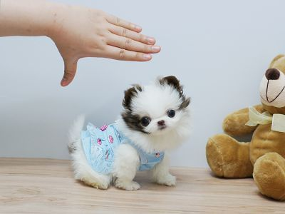 Cute And Adorable Pomeranian Baby Puppy For Free Adoption This