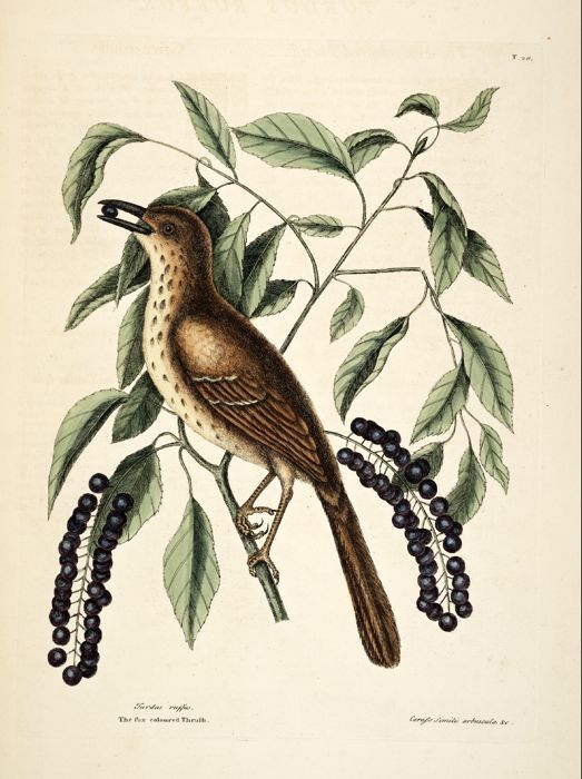 Prunus virginiana L. Chokecherry Catesby Volume I plate 28