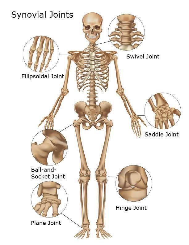 Synovial Joints | EMS | Pinterest | Übungen